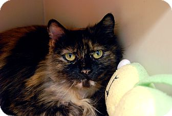Domestic Longhair Cat for adoption in Chicago, Illinois - Kyndee