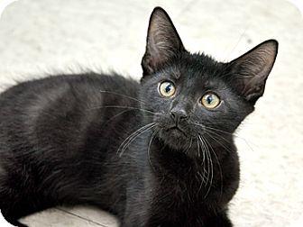 Domestic Shorthair Kitten for adoption in Bradenton, Florida - Silas