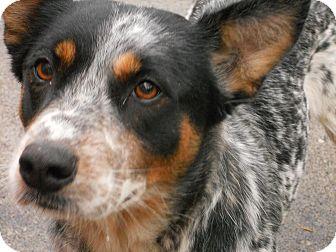 Cattle Dog Mix Dog for adoption in Aloha, Oregon - Heeler