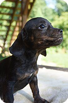 Dachshund/Boston Terrier Mix Puppy for adoption in Newark, Delaware - Big Mac
