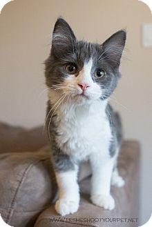 Domestic Longhair Kitten for adoption in Cambridge, Ontario - Ginny