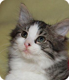 Domestic Mediumhair Kitten for adoption in Xenia, Ohio - Barney