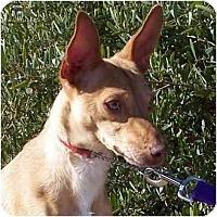 Adopt A Pet :: Dodger - Las Vegas, NV