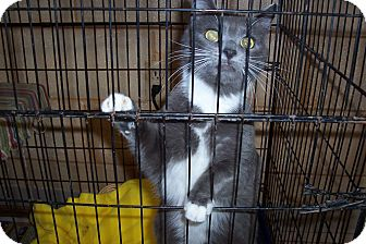 Domestic Shorthair Cat for adoption in Terre Haute, Indiana - Flora