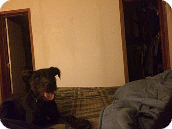 Schnauzer (Miniature)/Terrier (Unknown Type, Small) Mix Dog for adoption in Brattleboro, Vermont - Jack