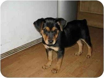 Beagle Mix Puppy for adoption in all of, Connecticut - Millie