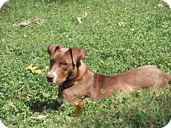 Labrador Retriever Mix Puppy for adoption in CHAMPAIGN, Illinois - DORI