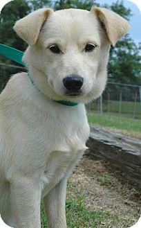 Labrador Retriever Mix Dog for adoption in Chicago, Illinois - Louis