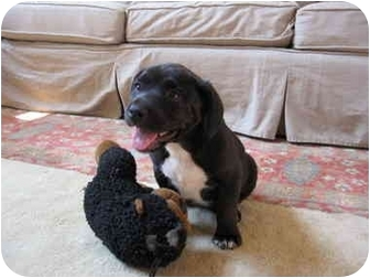 Labrador Retriever Mix Puppy for adoption in Macon, Georgia - Wednesday