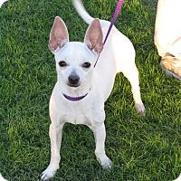 Adopt A Pet :: Frenchie - Scottsdale, AZ