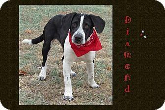 Basset Hound/Cattle Dog Mix Dog for adoption in Hillsboro, Texas - Diamond