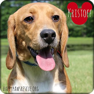 Beagle Puppy for adoption in South Plainfield, New Jersey - Kristoff