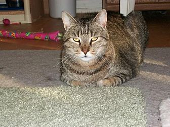 Domestic Shorthair Cat for adoption in Watsontown, Pennsylvania - Tiger