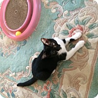 Adopt A Pet :: Black & White Female Kitten - Manasquan, NJ