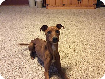 Miniature Pinscher/Jack Russell Terrier Mix Dog for adoption in Nampa, Idaho - JACK