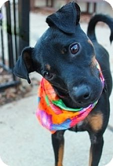 Miniature Pinscher Mix Dog for adoption in Yukon, Oklahoma - Gregory