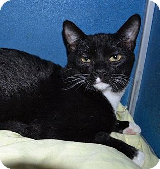 Domestic Shorthair Cat for adoption in Richmond, Virginia - Lucky