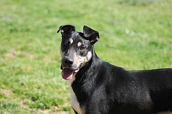 Shepherd (Unknown Type) Mix Dog for adoption in Marion, North Carolina - James