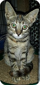 Domestic Shorthair Cat for adoption in Baltimore, Maryland - Holly