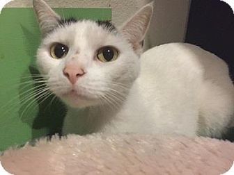 Domestic Shorthair Cat for adoption in West Des Moines, Iowa - Muffin