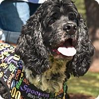 Adopt A Pet :: Harpo - Austin, TX