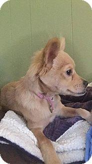 Papillon Mix Dog for adoption in Walker, Louisiana - Ava