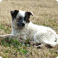 Adopt A Pet :: *Beau - PENDING - Westport, CT