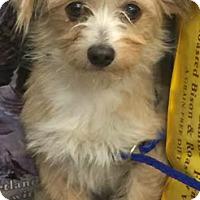 Adopt A Pet :: Ava-ADOPTION PENDING - Boulder, CO