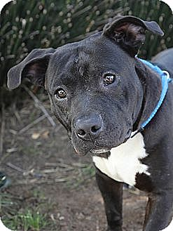American Pit Bull Terrier Mix Dog for adoption in Berkeley, California - Bud **URGENT**