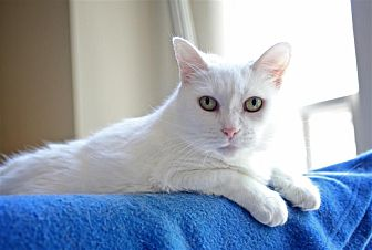 Domestic Shorthair Cat for adoption in Fairfax Station, Virginia - Kailee
