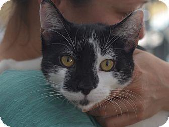 American Shorthair Kitten for adoption in Brooklyn, New York - Timmy