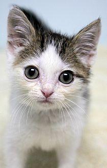 Domestic Shorthair Kitten for adoption in Montclair, New Jersey - Freddie