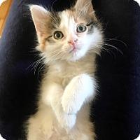 Adopt A Pet :: Brandy - St. Louis, MO