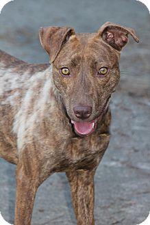 Vizsla Mix Dog for adoption in Greensboro, North Carolina - Kenneth