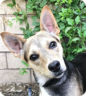 Shepherd (Unknown Type) Mix Dog for adoption in Corona, California - STELLA