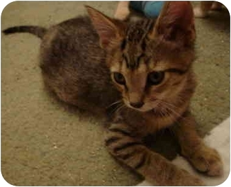 Domestic Shorthair Kitten for adoption in Davis, California - Poly