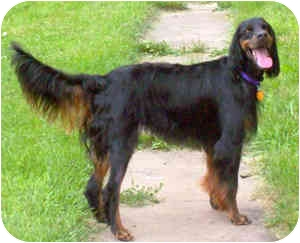 Gordon Setter Dog for adoption in DeKalb, Illinois - Dash