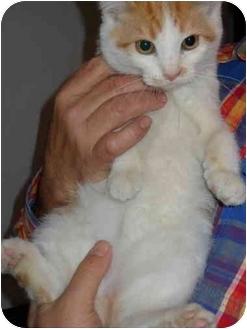 Persian Kitten for adoption in Farmington, Michigan - Rudy: 3 - 4 months