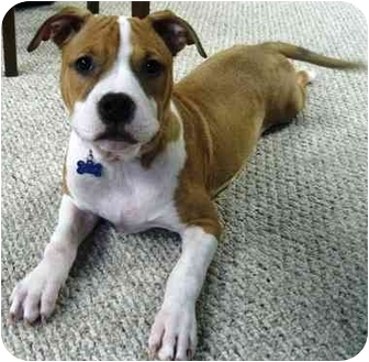 American Bulldog/Retriever (Unknown Type) Mix Puppy for adoption in Troy, Michigan - Laney