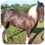 Photo 3 - Paint/Pinto/Tennessee Walking Horse Mix for adoption in McArthur, Ohio - RAVEN SUN