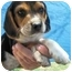 Photo 1 - Beagle Puppy for adoption in Lonedell, Missouri - Nebo 5