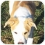 Photo 3 - American Bulldog Mix Dog for adoption in Marion, North Carolina - COWBOY