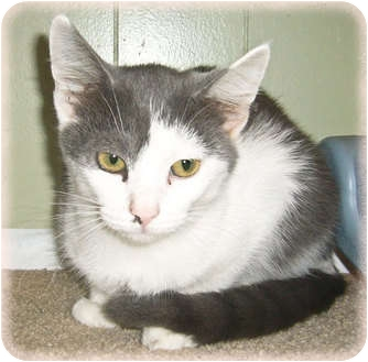 Domestic Shorthair Kitten for adoption in Brighton, Michigan - Pinky