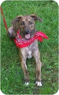 Mountain Cur Dog for adoption in Carey, Ohio - Jethro