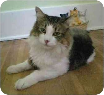 Domestic Mediumhair Cat for adoption in Portland, Oregon - Romeo (video)