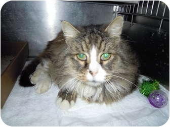 Domestic Longhair Cat for adoption in El Cajon, California - Lucky