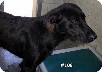 Labrador Retriever/Shepherd (Unknown Type) Mix Puppy for adoption in Floyd, Virginia - URGENT – At Pound - #108