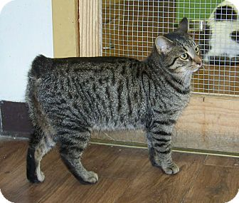 Domestic Shorthair Cat for adoption in Dover, Ohio - Ramsey