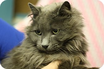 Domestic Longhair Cat for adoption in Lloydminster, Alberta - Wilson