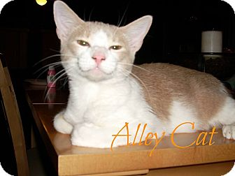 American Shorthair Cat for adoption in Shady Point, Oklahoma - Alley Cat
